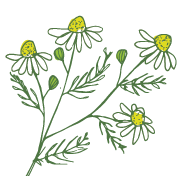 Chamomile, one of the natural ingredients used by Laughing Bird Body Care