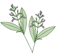 Sage, one of the natural ingredients used by Laughing Bird Body Care